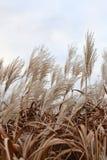 Pampagras in de hemel door wind wordt geblazen die royalty-vrije stock afbeeldingen