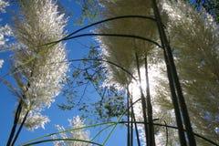Pampas αύξηση Cortaderia χλόης λαμπρή στοκ εικόνες