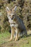 Pampas γκρίζα αλεπού, Pampa Λα, στοκ εικόνες