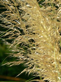 Pampas    Foto de Stock Royalty Free