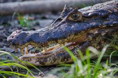 Pampas crocodile stock photography