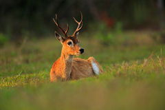 Pampas Deer, Ozotoceros bezoarticus, sitting in the green grass, Pantanal, Brazil Stock Photography