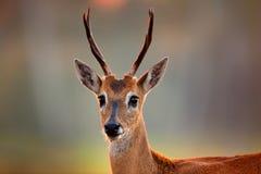Free Pampas Deer, Ozotoceros Bezoarticus, Sitting In The Green Grass, Pantanal, Brazil. Wildlife Scene From Nature. Deer, Nature Habita Royalty Free Stock Photos - 110445268