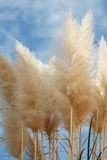 Pampas dominate with a cloudy sky background. Pampas in the foreground, the sky in the background Stock Images