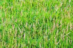 Pampas en groene grasachtergrond Royalty-vrije Stock Afbeeldingen