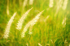 Pampas Flowering Plant Grass Royalty Free Stock Photos