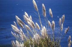 Pampas gräs Arkivfoto
