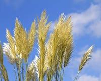 Pampas gräs Arkivbilder