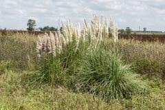 Pampas gräs Royaltyfri Fotografi