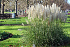 Pampas gräs (Cortaderiaselloanaen) Arkivfoto