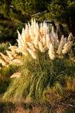 Pampas gräs (Cortaderiaselloanaen) Arkivfoton