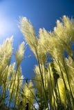 Pampas-Gras Stockbild