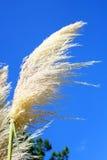 Pampas-Gras Lizenzfreie Stockbilder