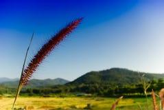 Pampas-Gras-Blume Stockbild