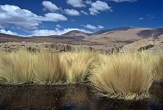 Pampas Gras in Bolivia,Bolivia. Pampas Gras in Bolivia in front of blue Sky Royalty Free Stock Photography
