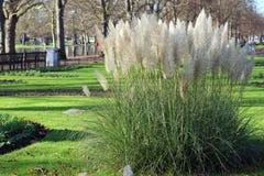 Pampas-Gras (Cortaderia selloana) Stockfoto