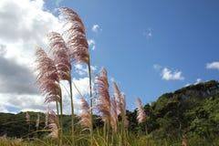 Pampas-Gras, das in den Wind beeinflußt Stockfoto
