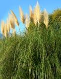 Pampas-Gras gegen blauen Himmel Stockfotos