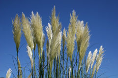 Pampas grass Royalty Free Stock Images
