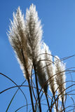Pampas grass Royalty Free Stock Photos
