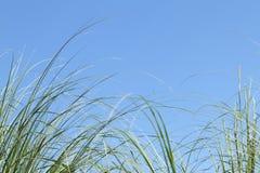 Pampas grass Stock Image