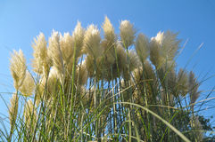 Pampas Grass. Waving pampas grass in front of blue sky Royalty Free Stock Photos