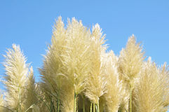 Pampas Grass. Waving pampas grass in front of blue sky Stock Photo