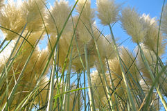 Pampas Grass. Close up of pampas grass in front of blue sky Stock Photos