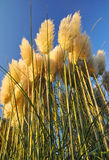 Pampas grass. In front of blue sky Royalty Free Stock Photos