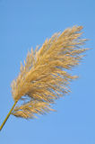 Pampas Grass. Close up of a pampas grass branch in front of blue sky Stock Photography
