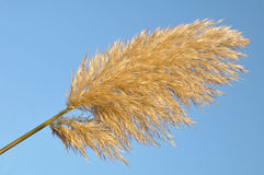 Pampas Grass. Close up of a pampas grass branch in front of blue sky Stock Images