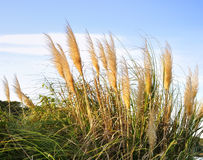 Free Pampas Grass Royalty Free Stock Photo - 23634585