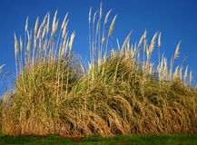 Free Pampas Grass Royalty Free Stock Images - 488109