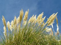 Pampas Grass. Bright plumes of Pampas Grass against a blue sky Stock Image