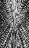 Pampas Grass Abstract. An abstract black and white photograph of pampas grass Royalty Free Stock Images