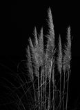 Pampas grass against black background. Stock Photo