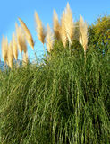 Pampas grass against blue sky. With green foliage and yellow flowers stock photos