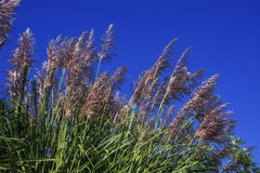 Pampas Grass. Against the blue sky Royalty Free Stock Image