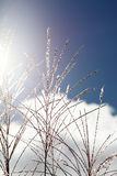 Pampas grass. Against the blue sky Royalty Free Stock Photo