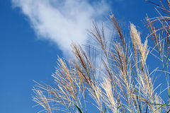 Pampas grass. Against the blue sky Royalty Free Stock Photography
