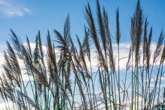 Pampas Grass against Blue Sky. Pampas grass in silhouette against cloudy, blue sky -- light breeze causing movement Stock Photos