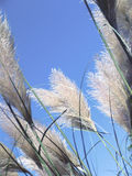 Pampas grass against the sky. White pampas grass plumes against the blue sky royalty free stock photo
