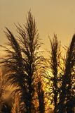 Pampas grass against the sunset Royalty Free Stock Images