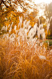 Pampas Grass in autumn garden Royalty Free Stock Photo
