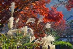 Pampas grass and autumn leaves. Background, Arashiyama Royalty Free Stock Image