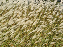 Pampas Grass Background Stock Photos