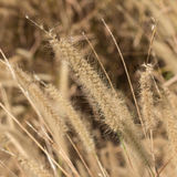 Pampas grass Royalty Free Stock Photo