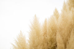Pampas grass on  background Stock Photo
