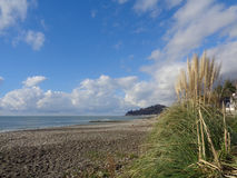 Pampas grass on the beach, Black Sea coast of Russia. Pampas grass on the beach, blue sky with clouds, the coast of Sochi, Russia Stock Photos