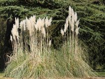 Pampas Grass. Royalty Free Stock Photography